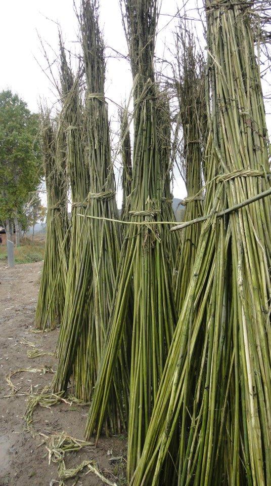 Datan villagers' main crop – barley.