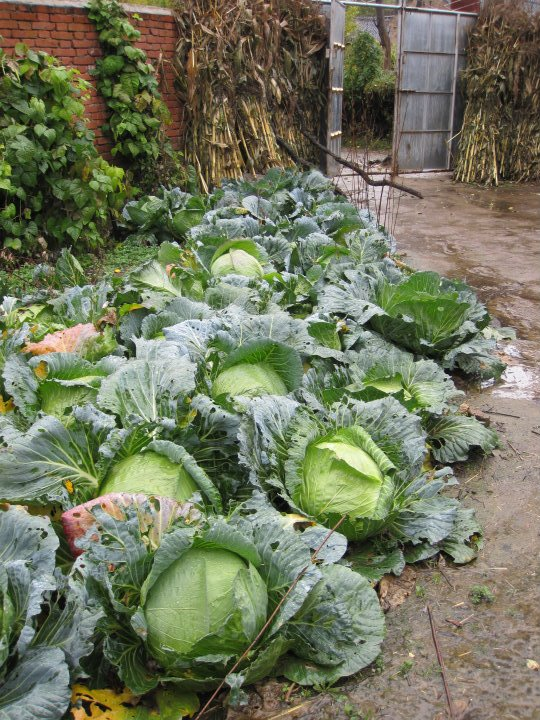 Cabbages are stored underground to be kept fresh. Self-grown vegetables are the villagers' main food source, hence freshness is vital.