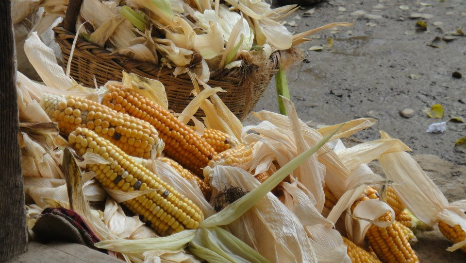 Corn is a main fodder for the cattle.